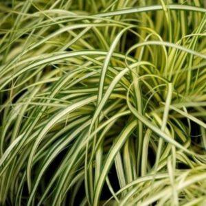 Carex oshimensis 'Evergold`