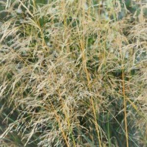 Deschampsia cespitosa 'Palava'