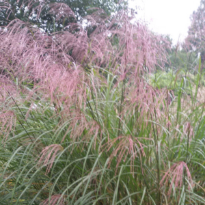 Miscanthus sinensis 'Groβe Fontaine'