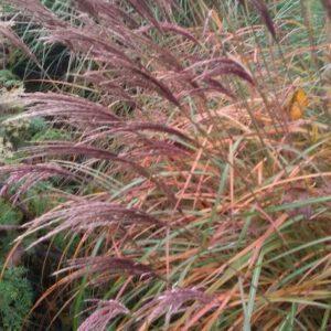 Miscanthus sinensis 'Red Chief'