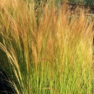 Stipa tenuissima