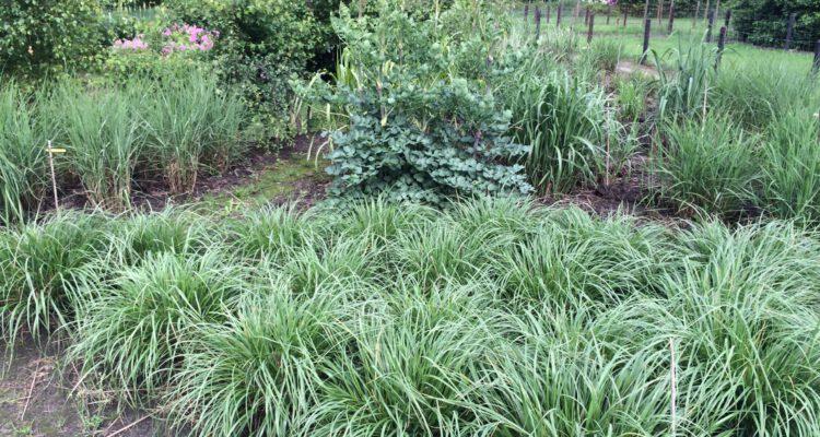 Grassen polvormig